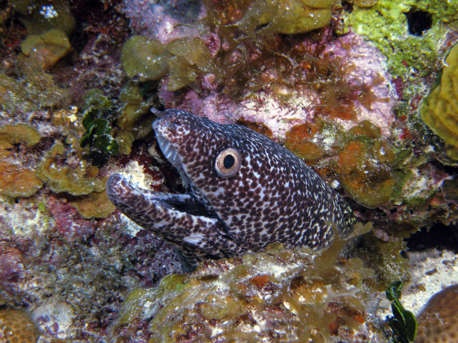Spitted Moray Eel